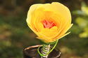 Yellow Rose with Pink